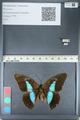 http://mczbase.mcz.harvard.edu/specimen_images/ent-lepidoptera/images/2012_05_07/IMG_119107.JPG