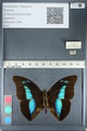 http://mczbase.mcz.harvard.edu/specimen_images/ent-lepidoptera/images/2012_05_07/IMG_119111.JPG