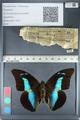 http://mczbase.mcz.harvard.edu/specimen_images/ent-lepidoptera/images/2012_05_07/IMG_119112.JPG