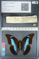 http://mczbase.mcz.harvard.edu/specimen_images/ent-lepidoptera/images/2012_05_07/IMG_119124.JPG