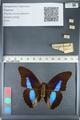 http://mczbase.mcz.harvard.edu/specimen_images/ent-lepidoptera/images/2012_05_09/IMG_119137.JPG