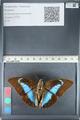 http://mczbase.mcz.harvard.edu/specimen_images/ent-lepidoptera/images/2012_05_09/IMG_119143.JPG