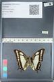 http://mczbase.mcz.harvard.edu/specimen_images/ent-lepidoptera/images/2012_05_09/IMG_119149.JPG