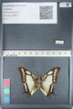 http://mczbase.mcz.harvard.edu/specimen_images/ent-lepidoptera/images/2012_05_09/IMG_119151.JPG