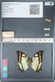 http://mczbase.mcz.harvard.edu/specimen_images/ent-lepidoptera/images/2012_05_09/IMG_119152.JPG