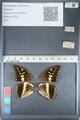 http://mczbase.mcz.harvard.edu/specimen_images/ent-lepidoptera/images/2012_05_09/IMG_119186.JPG