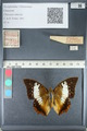 http://mczbase.mcz.harvard.edu/specimen_images/ent-lepidoptera/images/2012_05_10/IMG_119243.JPG