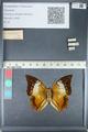 http://mczbase.mcz.harvard.edu/specimen_images/ent-lepidoptera/images/2012_05_10/IMG_119294.JPG