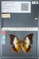 http://mczbase.mcz.harvard.edu/specimen_images/ent-lepidoptera/images/2012_05_10/IMG_119295.JPG