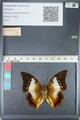 http://mczbase.mcz.harvard.edu/specimen_images/ent-lepidoptera/images/2012_05_10/IMG_119296.JPG