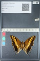 http://mczbase.mcz.harvard.edu/specimen_images/ent-lepidoptera/images/2012_05_10/IMG_119317.JPG
