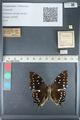 http://mczbase.mcz.harvard.edu/specimen_images/ent-lepidoptera/images/2012_05_10/IMG_119350.JPG