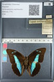 http://mczbase.mcz.harvard.edu/specimen_images/ent-lepidoptera/images/2012_05_11/IMG_119431.JPG