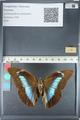 http://mczbase.mcz.harvard.edu/specimen_images/ent-lepidoptera/images/2012_05_11/IMG_119436.JPG