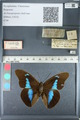 http://mczbase.mcz.harvard.edu/specimen_images/ent-lepidoptera/images/2012_05_11/IMG_119443.JPG