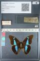 http://mczbase.mcz.harvard.edu/specimen_images/ent-lepidoptera/images/2012_05_11/IMG_119445.JPG