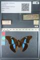 http://mczbase.mcz.harvard.edu/specimen_images/ent-lepidoptera/images/2012_05_11/IMG_119446.JPG