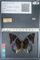 http://mczbase.mcz.harvard.edu/specimen_images/ent-lepidoptera/images/2012_05_12/IMG_119532.JPG