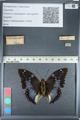 http://mczbase.mcz.harvard.edu/specimen_images/ent-lepidoptera/images/2012_05_12/IMG_119533.JPG