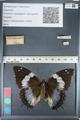 http://mczbase.mcz.harvard.edu/specimen_images/ent-lepidoptera/images/2012_05_12/IMG_119534.JPG