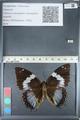 http://mczbase.mcz.harvard.edu/specimen_images/ent-lepidoptera/images/2012_05_12/IMG_119535.JPG