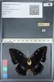 http://mczbase.mcz.harvard.edu/specimen_images/ent-lepidoptera/images/2012_05_12/IMG_119537.JPG
