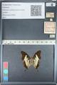 http://mczbase.mcz.harvard.edu/specimen_images/ent-lepidoptera/images/2012_05_12/IMG_119593.JPG