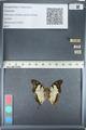 http://mczbase.mcz.harvard.edu/specimen_images/ent-lepidoptera/images/2012_05_12/IMG_119594.JPG