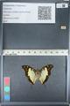 http://mczbase.mcz.harvard.edu/specimen_images/ent-lepidoptera/images/2012_05_12/IMG_119595.JPG