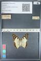 http://mczbase.mcz.harvard.edu/specimen_images/ent-lepidoptera/images/2012_05_12/IMG_119598.JPG
