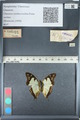 http://mczbase.mcz.harvard.edu/specimen_images/ent-lepidoptera/images/2012_05_12/IMG_119599.JPG