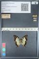 http://mczbase.mcz.harvard.edu/specimen_images/ent-lepidoptera/images/2012_05_12/IMG_119600.JPG