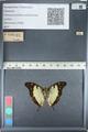 http://mczbase.mcz.harvard.edu/specimen_images/ent-lepidoptera/images/2012_05_12/IMG_119601.JPG