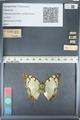 http://mczbase.mcz.harvard.edu/specimen_images/ent-lepidoptera/images/2012_05_12/IMG_119603.JPG