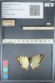 http://mczbase.mcz.harvard.edu/specimen_images/ent-lepidoptera/images/2012_05_12/IMG_119604.JPG