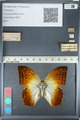 http://mczbase.mcz.harvard.edu/specimen_images/ent-lepidoptera/images/2012_05_12/IMG_119612.JPG