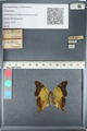 http://mczbase.mcz.harvard.edu/specimen_images/ent-lepidoptera/images/2012_05_14/IMG_119619.JPG
