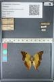 http://mczbase.mcz.harvard.edu/specimen_images/ent-lepidoptera/images/2012_05_14/IMG_119620.JPG