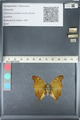 http://mczbase.mcz.harvard.edu/specimen_images/ent-lepidoptera/images/2012_05_14/IMG_119623.JPG