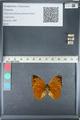 http://mczbase.mcz.harvard.edu/specimen_images/ent-lepidoptera/images/2012_05_14/IMG_119668.JPG