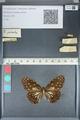 http://mczbase.mcz.harvard.edu/specimen_images/ent-lepidoptera/images/2012_05_17/IMG_120193.JPG