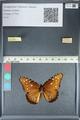 http://mczbase.mcz.harvard.edu/specimen_images/ent-lepidoptera/images/2012_05_19/IMG_120249.JPG