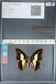 http://mczbase.mcz.harvard.edu/specimen_images/ent-lepidoptera/images/2012_05_21/IMG_120553.JPG