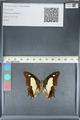 http://mczbase.mcz.harvard.edu/specimen_images/ent-lepidoptera/images/2012_05_21/IMG_120554.JPG