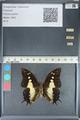http://mczbase.mcz.harvard.edu/specimen_images/ent-lepidoptera/images/2012_05_21/IMG_120572.JPG