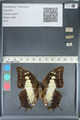 http://mczbase.mcz.harvard.edu/specimen_images/ent-lepidoptera/images/2012_05_21/IMG_120573.JPG