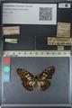 http://mczbase.mcz.harvard.edu/specimen_images/ent-lepidoptera/images/2012_06_23/IMG_122812.JPG