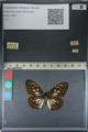 http://mczbase.mcz.harvard.edu/specimen_images/ent-lepidoptera/images/2012_06_23/IMG_122825.JPG