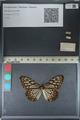 http://mczbase.mcz.harvard.edu/specimen_images/ent-lepidoptera/images/2012_06_23/IMG_122831.JPG