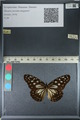 http://mczbase.mcz.harvard.edu/specimen_images/ent-lepidoptera/images/2012_06_25/IMG_122807.JPG